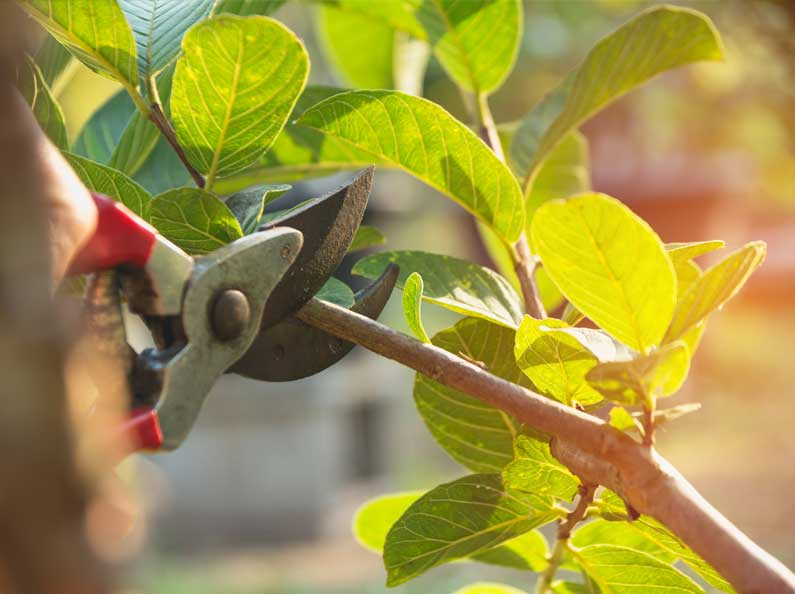 Pruning and trimming is an important aspect of landscape maintenance that keeps your trees healthy.